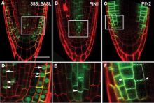 Localization of BASL and PIN Proteins in Roots